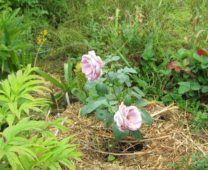 Роза Голубой Нил - нежная красавица