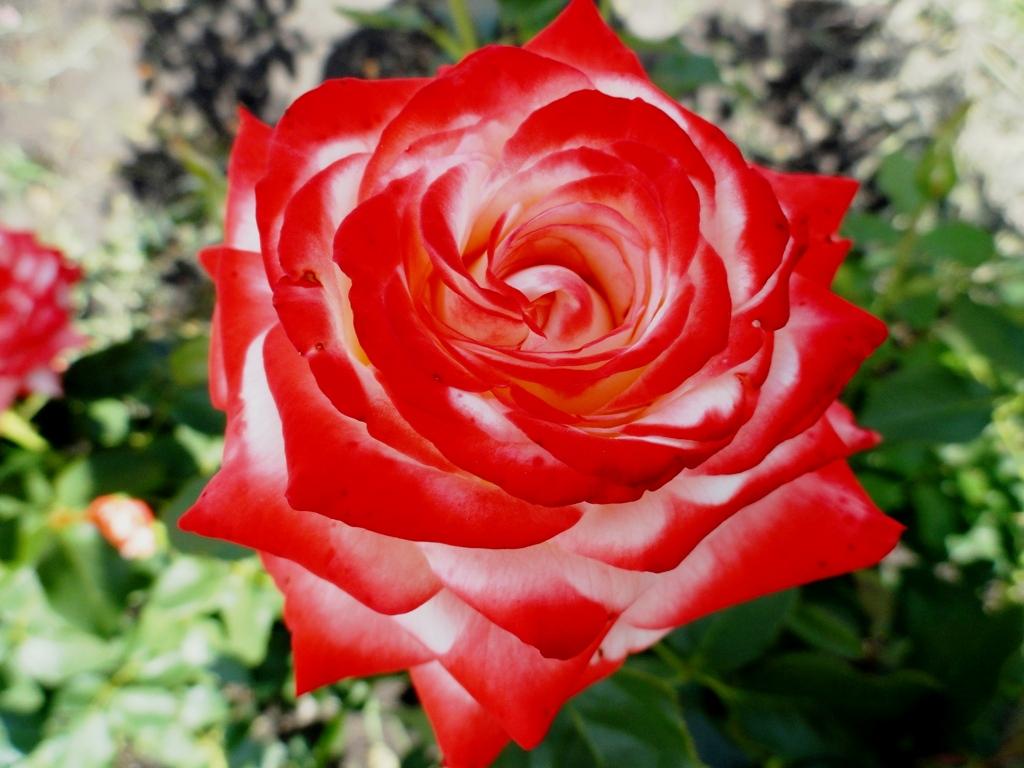 Сорта роз - 9 лучших из лучших