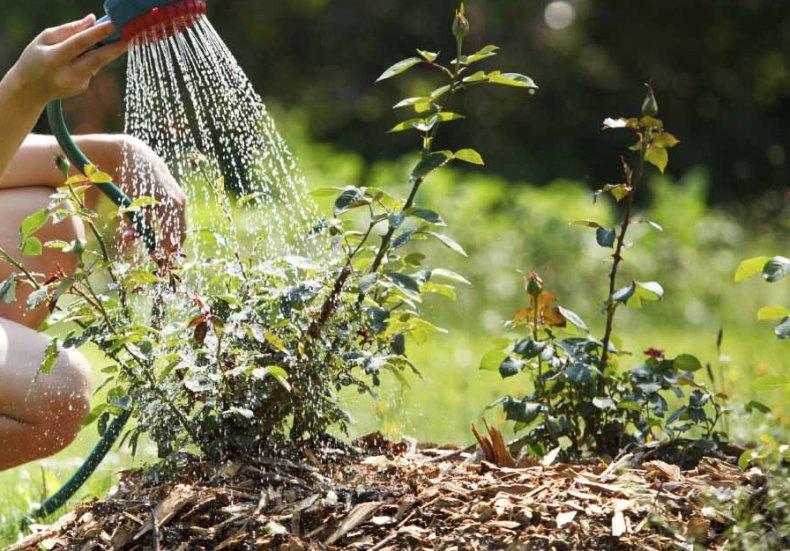 Роза Белла Вита - настоящая королева сада