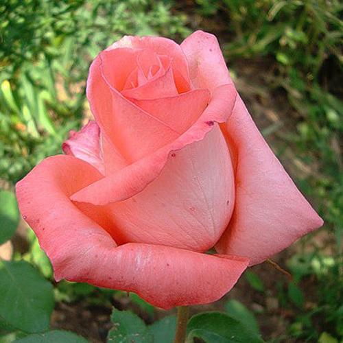 Сорта роз - лучшие из лучших