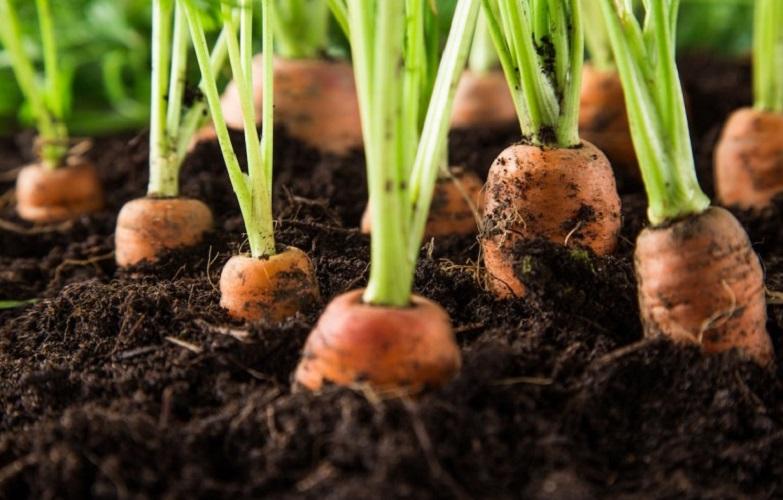 Что лучше всего посадить после моркови?