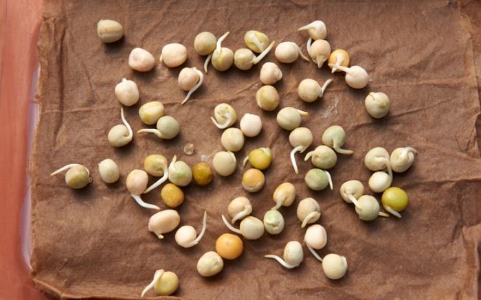Выращивание гороха — посадка и уход