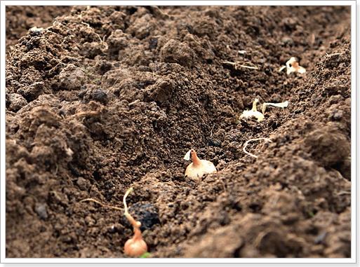 Когда сажать чернушку на севок в открытый грунт 48