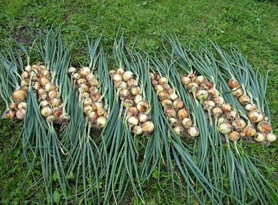 Урожай озимого лука