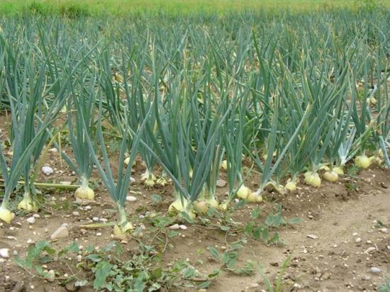 Выращивание семейного лука, крупный семейный лук, резка 72