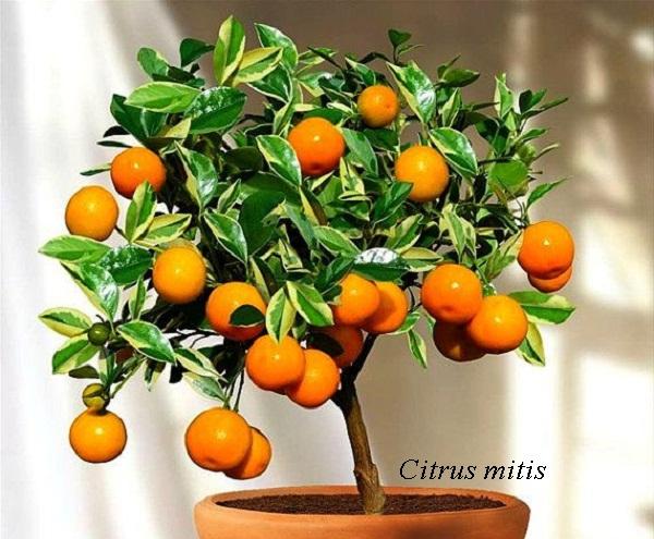 Как сделать чтобы мандарин давал плоды