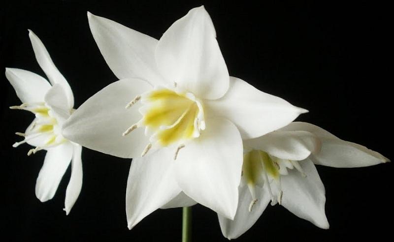 """Амазонская лилия"", или Эухарис - выращивание и уход"