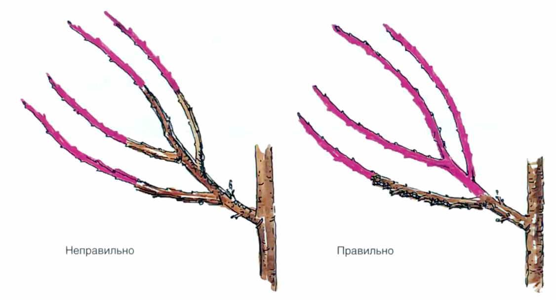 Что такое шпалерные деревья и как за ними ухаживать