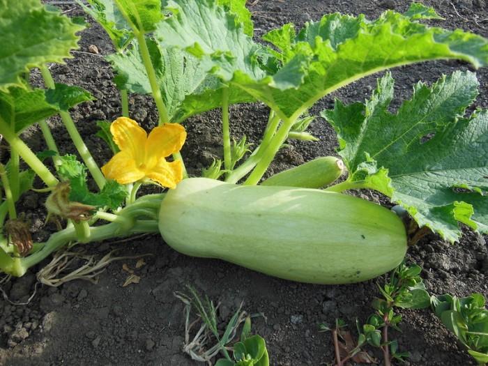 Кабачки - выращивание и уход