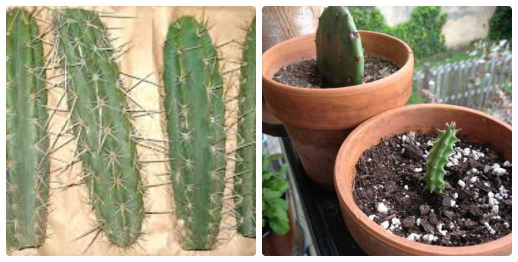 Как ухаживать за кактусами в домашних условиях для начинающих 788