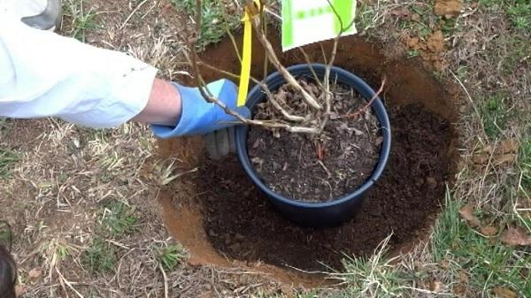 Голубика: выращивание и уход