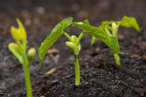 Все хитрости выращивания фасоли