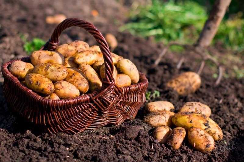 Когда сажать картошку: от А, до Я