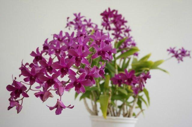 orhideeja den