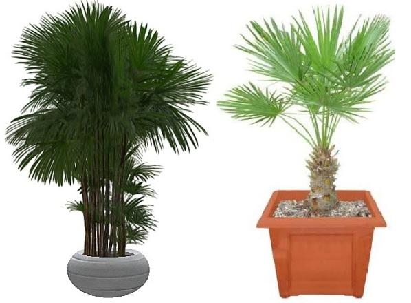 palmi
