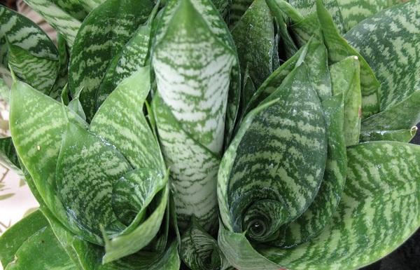 Сансевиерия: выращивание,уход, виды