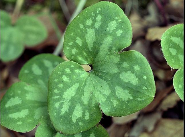 Печеночница, или Перелеска - один из самых оригинальных цветков
