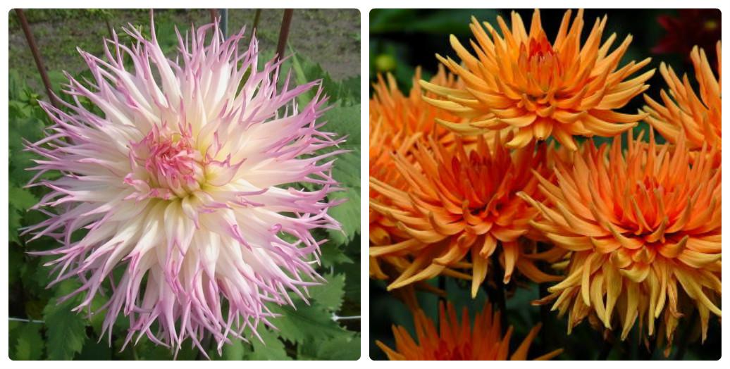 Георгина - виды, как ухаживать за цветами, советы цветоводам