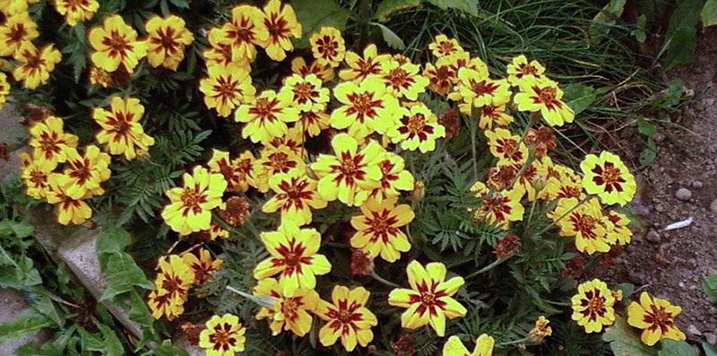 Бархатцы: виды цветов, правила ухода
