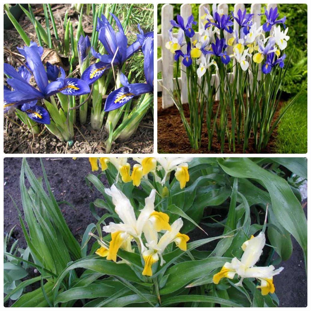 Цветы похожие на ирисы: названия цветов и фотографии 15