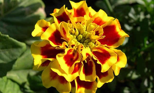 Бархатцы: виды цветов