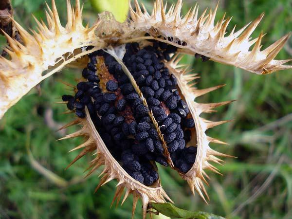 Дурман - легенда в мире растений