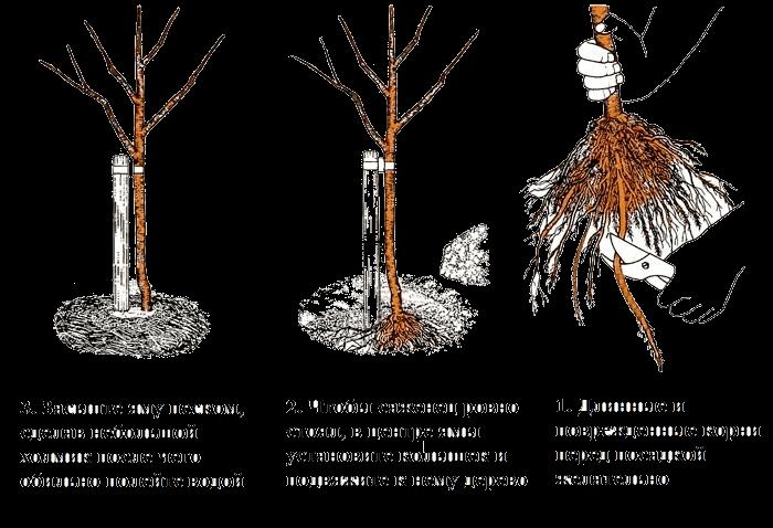 Лиловая красавица Глициния - посадка и уход