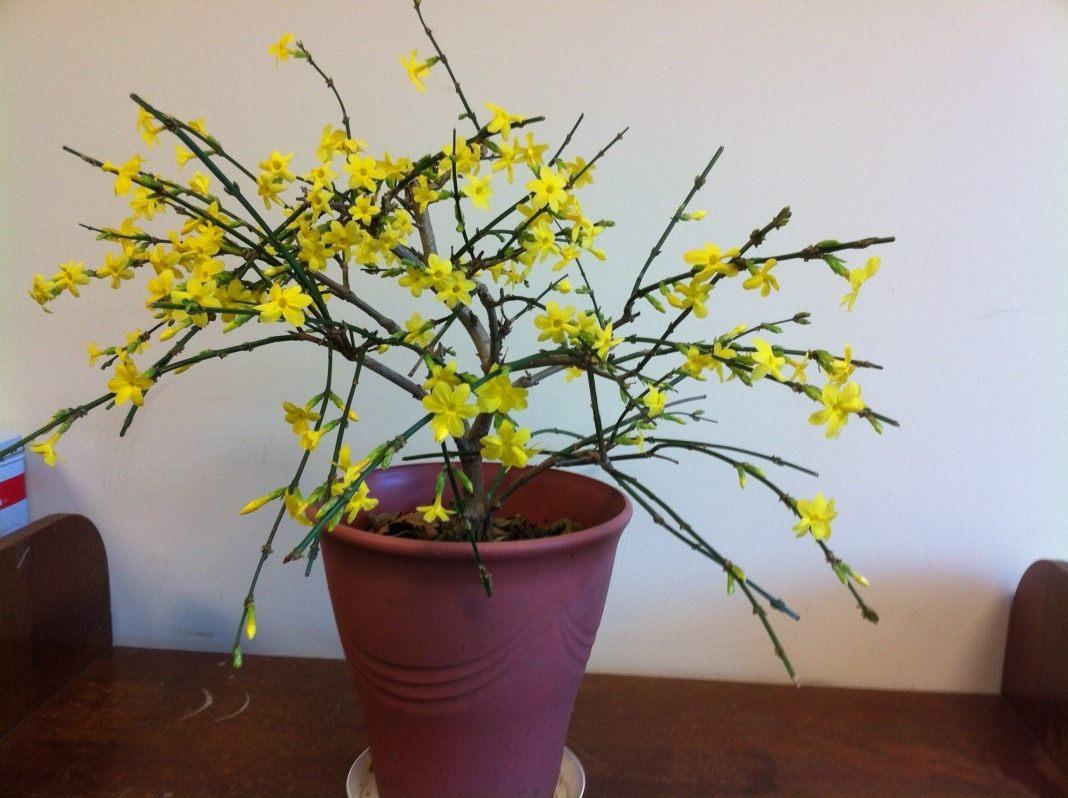 Жасмин комнатный, растение, которое стоит внимания