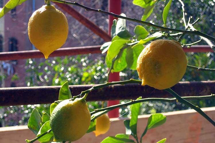 Цитрусовые в доме: лимон, мандарин, апельсин