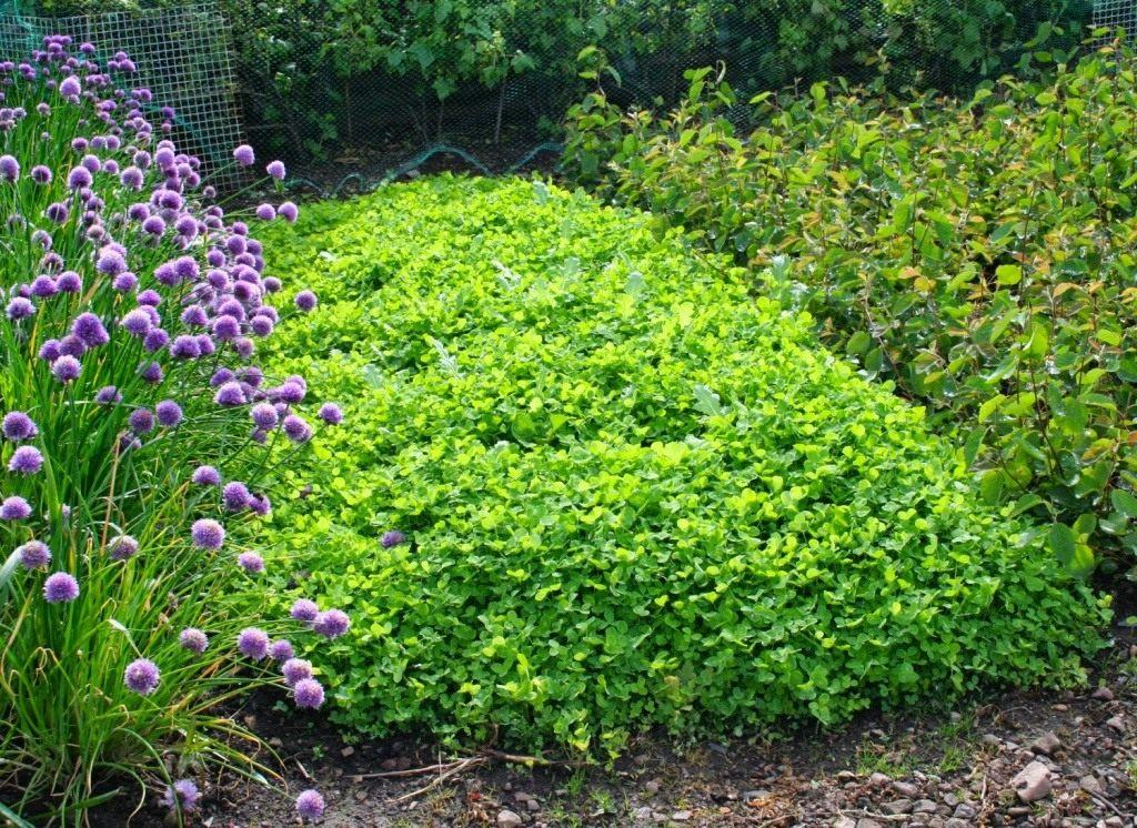Растения-сидераты - натуральные минеральные удобрения