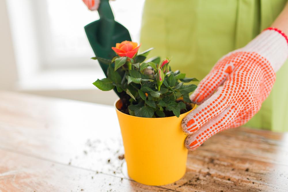 Миниатюрная роза - небольшое декоративное чудо