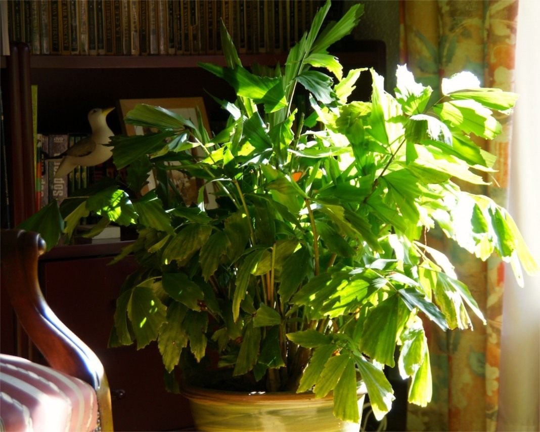 Домашние красавицы: сажаем и выращиваем пальмы