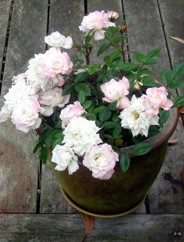 Миниатюрная роза (комнатная) - уход