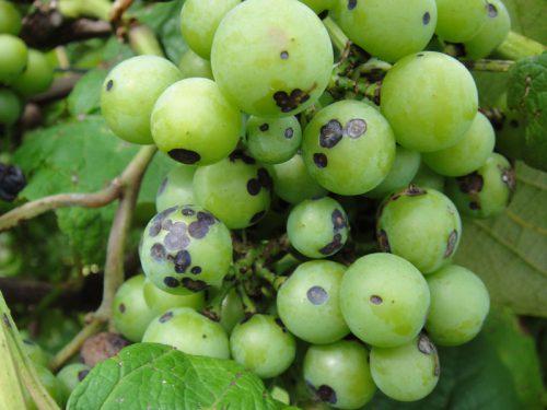 Черная пятнистость винограда