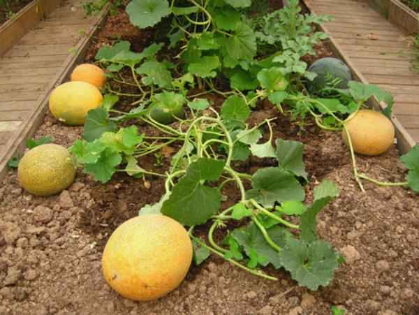 Дыня: выращивание, уход