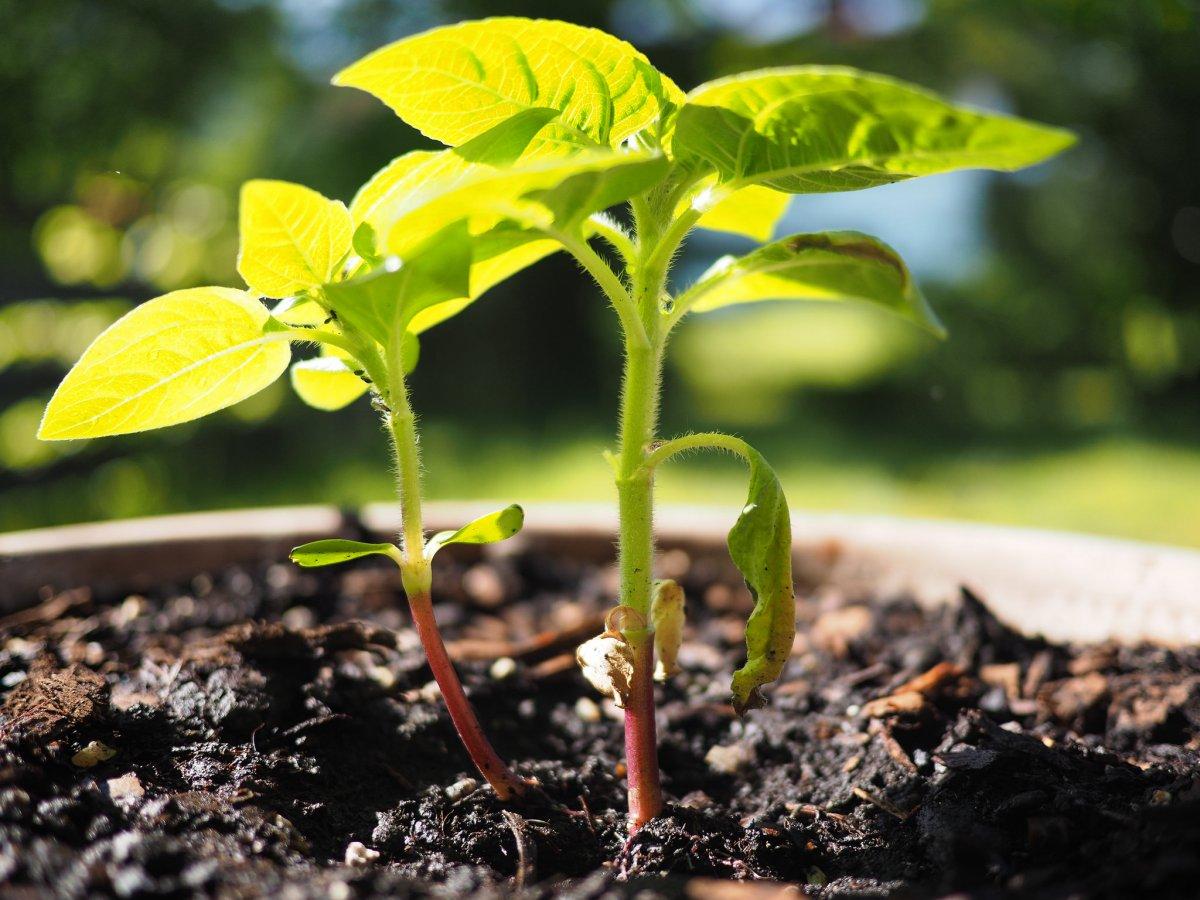 Подсолнух: выращивание в контейнере