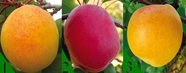 Монилиоз на абрикосе: как победить, профилактика и лечение