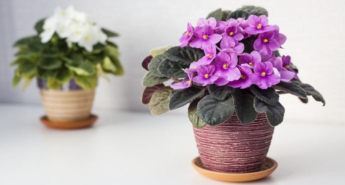 Фиалка комнатная - символ весны