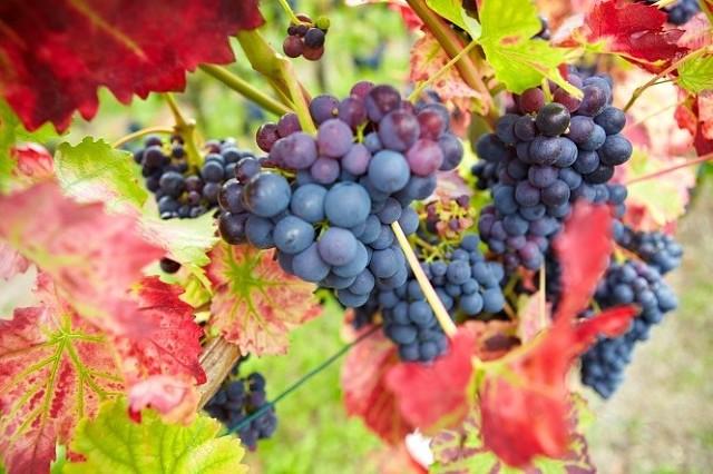 любом случае, в листьях винограда есть ресвератрол часть