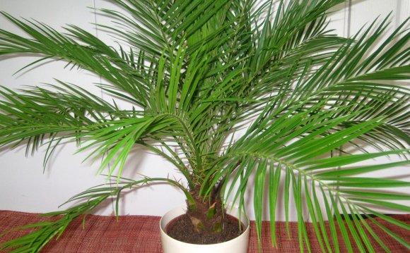 Пальмы: виды и уход