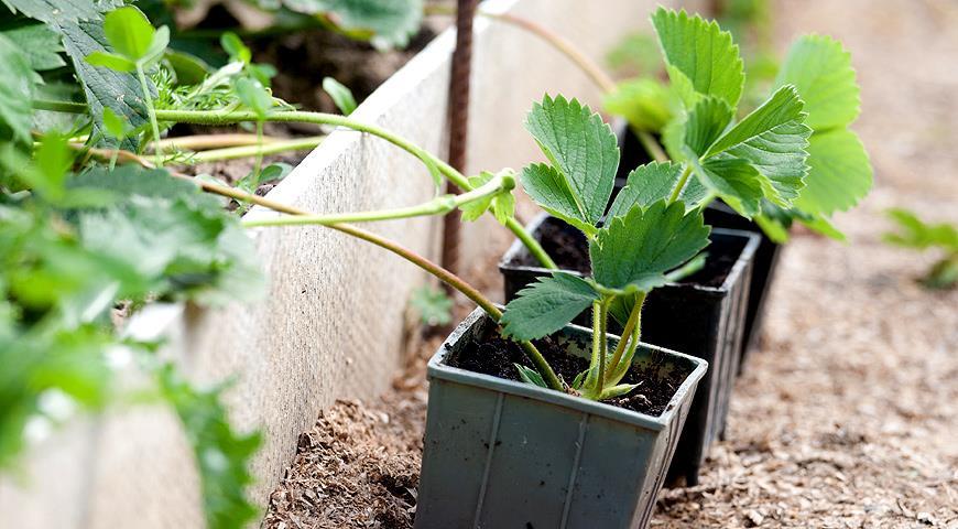 Как посадить и вырастить вкуснейшую клубнику