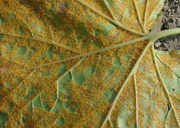 Ржавчина растений – борьба и профилактика