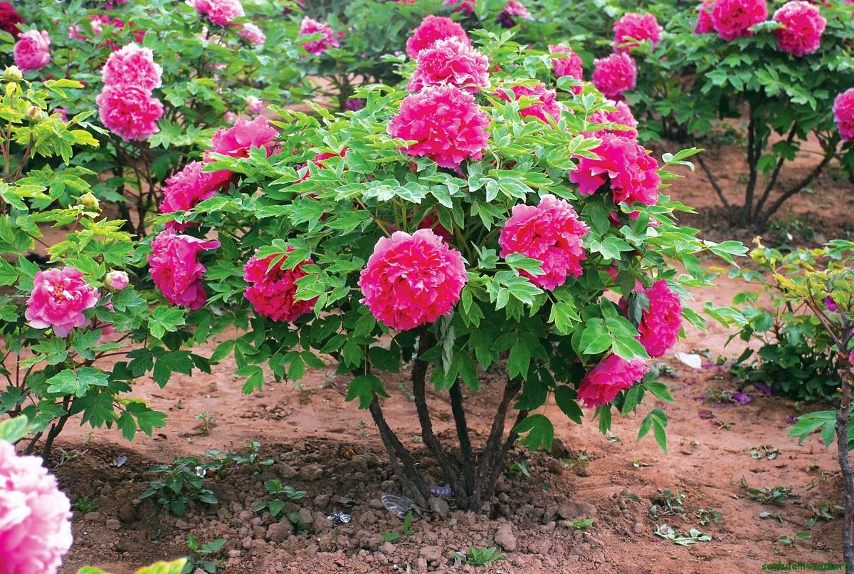 Царь цветов — пион древовидный