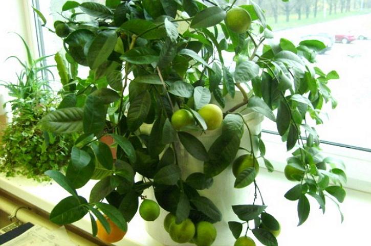 Выращивание личи в домашних условиях из косточки