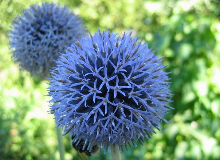 Мордовник - лекарственное растение
