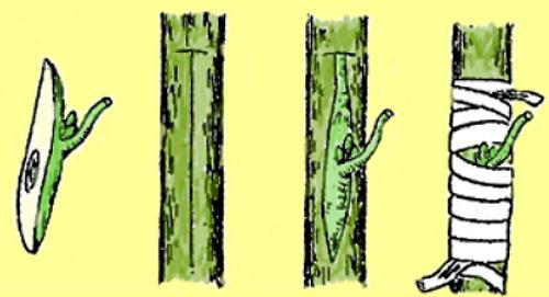т-образный разрез коры на подвое