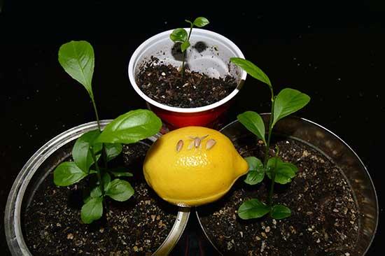 Размножение цитрусовых культур в комнатных условиях