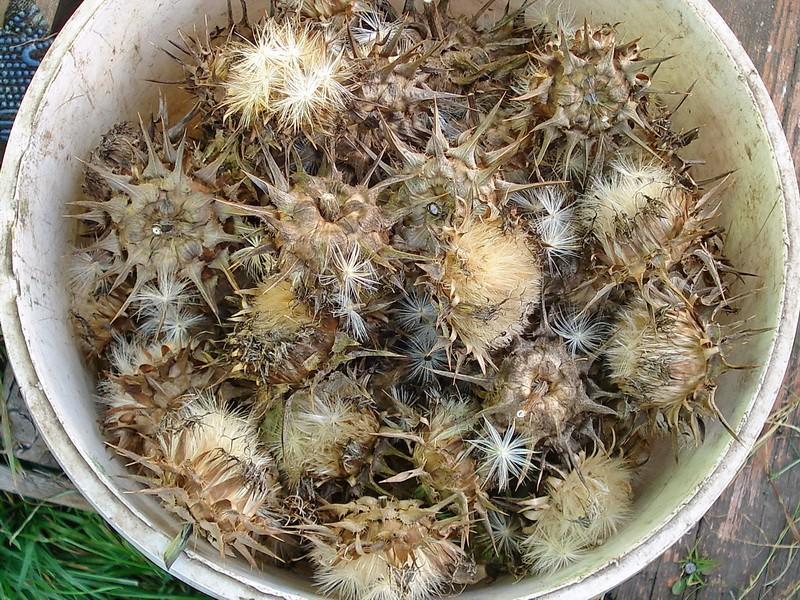 Расторопша – чудодейственное растение