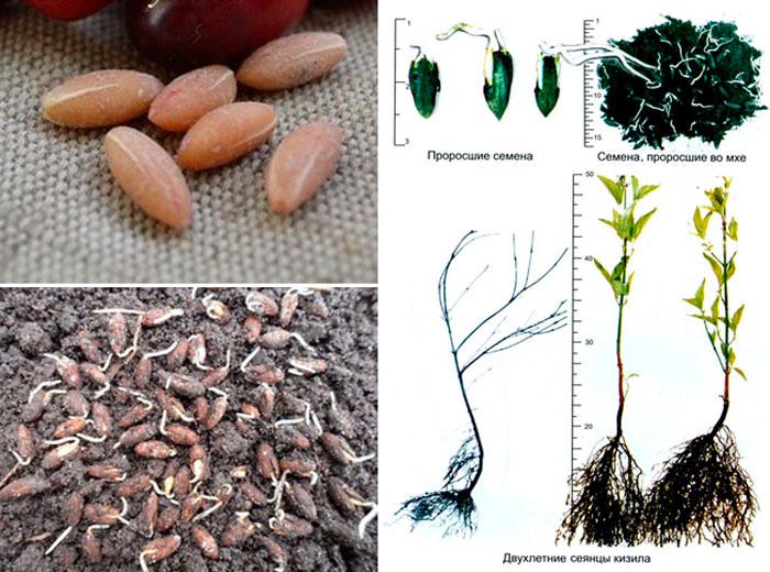 Все о том, как вырастить вкуснейший кизил