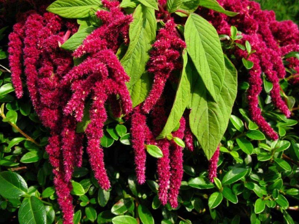 Амарант — уникальное растение, которое накормит